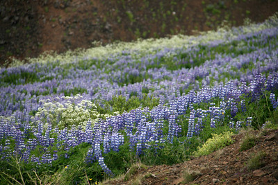 Lupines all over the country.