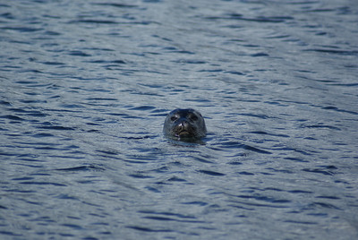 One of the scouts.  He swam over to me and watched me for about five minutes, then swam back to the rocks.
