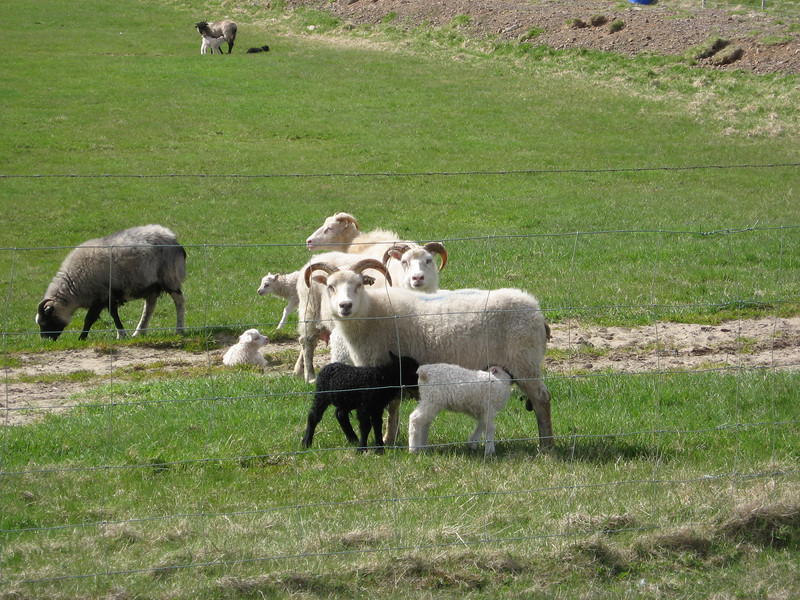 Lambs nursing.