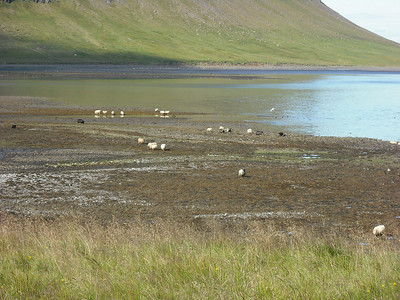 Sheep on the beach.