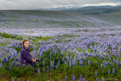 20 minutes along Hwy 1 from Skogafoss we saw the most extensive lupine fileds that we saw during our entire trip.  Jaw dropping.