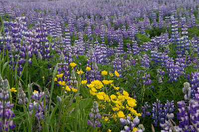 Lupines close to Skogafoss waterfalls
