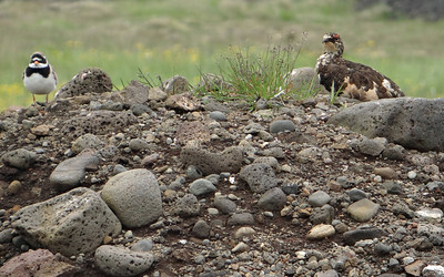 Rock Ptarmigan and Ringed Plover