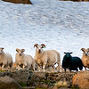 Sheep at the Westfjords