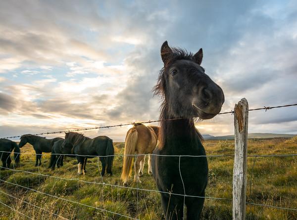 Icelandic horses near Gullfoss