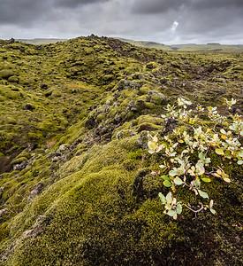 Moss covered lava fields near Vik