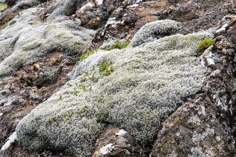 Moss covered volcanic rocks, Thingvellir National Park