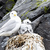 Northern fulmar and chick, Flatey Island.