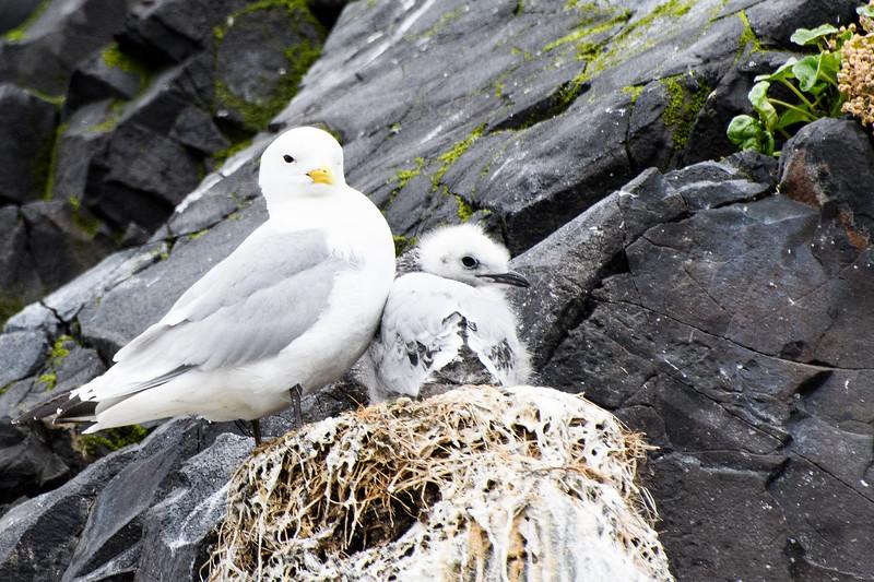 Northern fulmar and chick, Flatey Island.