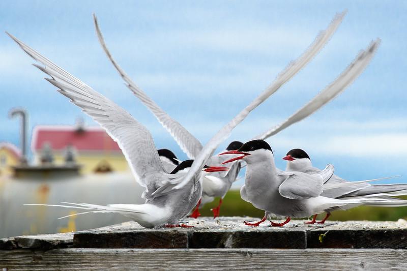 Arctic terns, Flatey Island.