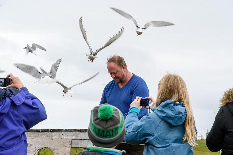 Feeding terns in order to be able to catch and band them.  Flatey Island.