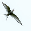 Arctic Tern, Vigur Island.