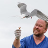 Feeding Arctic terns.  Flatey Island