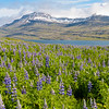 Lupine blooming along roadside above a fjord.
