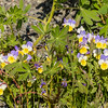 Found these violas growing wildly among lupine beside the road.