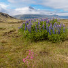 Lupine and rose campion  blooming with rugged  Bulandstindur mountains in background.<br /> June 14, 2017 near Djupivogur.