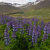 Masses of blue lupine blooming, especially in disturbed soils.  A common sight throughout much of Iceland is large fields of vibrant purple nootka, or Alaskan lupine. The flower looks at home in this landscape, but was actually introduced in 1945 to lowland areas as a means to add nitrogen to the soil and also to function as an anchor for organic matter.