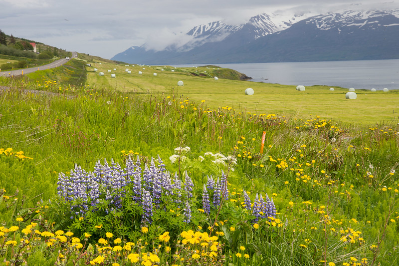 Dandilions, Nootka lupine, luxuriant green fields of grass and rolled bales of hay, straight and narrow roads, fjords of water surrounded by snow capped mountains - the look of June in Iceland.