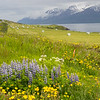 Dandilions, Nootka lupine, luxuriant green fields of grass and rolled bales of hay, straight and narrow roads, fjords of water surrounded by snow capped mountains - the look of June on the Trollaskagi peninsula in Iceland.  June 16, 2017
