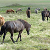 Herd of Icelandic horses.