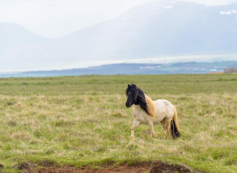 A beautiful Icelandic horse.