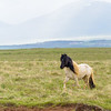 A beautiful Icelandic horse.