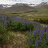 Beauty of Iceland in June - snow on the mountains with lots of blue lupine in bloom.<br /> June 16, 2017.