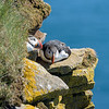 Two Puffins on the Latrabjarg cliffs.<br /> June 19, 2017