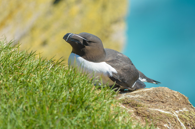 A Razorbill, just over the cliff-face at Latrabjarg.