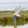 Arctic tern perching.