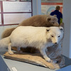 In the Arctic Fox museum and research station at  Sudavik, east of Isafjordur.