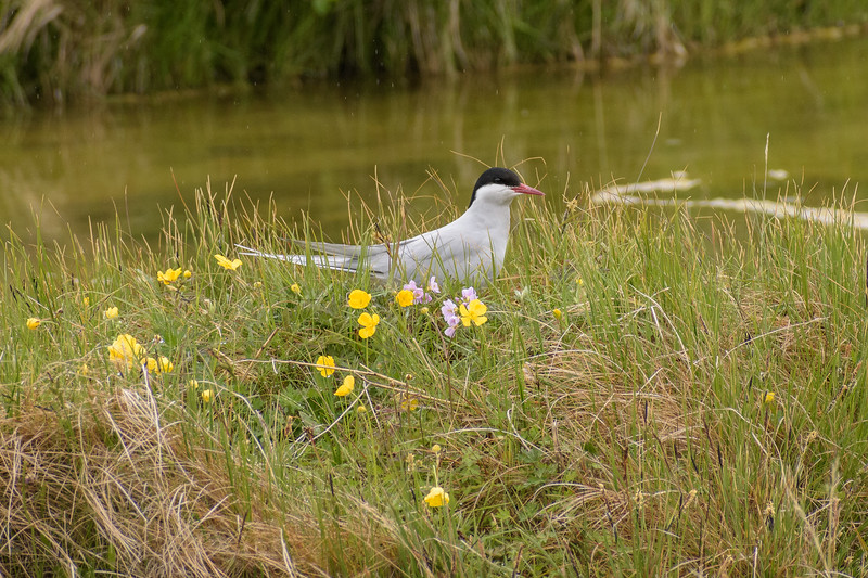 Arctic Tern on her nest on the rocky ground amid the wildflowers.