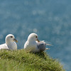 A nesting pair of Northern Fulmars at Latrabjarg cliffs.<br /> June 19, 2017