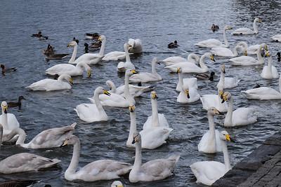 The Whooper (Hooper) swan (Cygnus cygnus).
