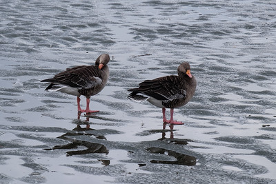 The Pink-footed Goose  (Anser brachyrhynchus).