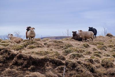 Icelandic sheep, domestic (Ovis aries).