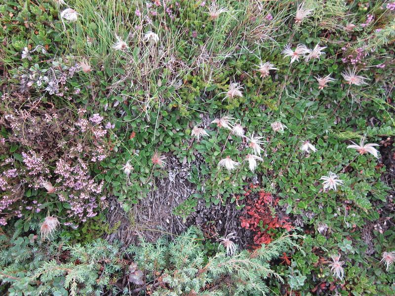 Cottongrass or Eriophorum