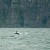 Dolphin, at play