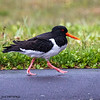 A Eurasian Oystercatcher on a mission on a very wet and windy day.