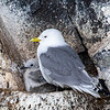 Black-Legged Kittiwake adult and chick on a cliff near Stykkisholmur.  This photo was taken from a boat.