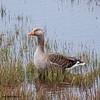 Greyleg Goose