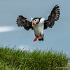 Puffins are a delight to watch land.  This one is landing near its nest that is burrowed in a small hole among the tall grass.