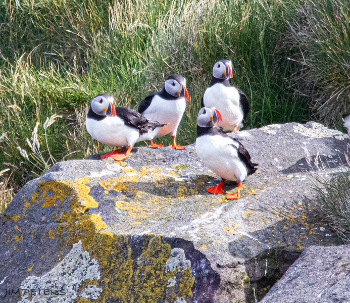 Atlantic Puffins are typically found in Iceland near the ocean and high on grassy cliffs.  These were photographed from a boat along the Snaefellsnes Peninsula.