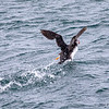 Atlantic puffins are often seen on the sea as they hunt and dive for small fish.