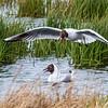 Black-Headed Gulls during mating season near Hofn in Southeast Iceland.