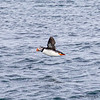 Puffins fly very fast and therefore difficult to photograph.  This photo was taken at 1/3200 of a second from a moving boat.