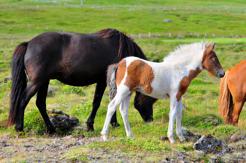 Icleandic Mom and Pony