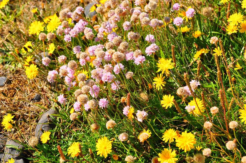 Icelandic Wildflowers
