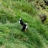 Atlantic Puffins, Heimaey Island