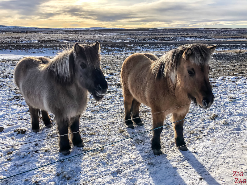 Horses - Iceland wildlife in winter